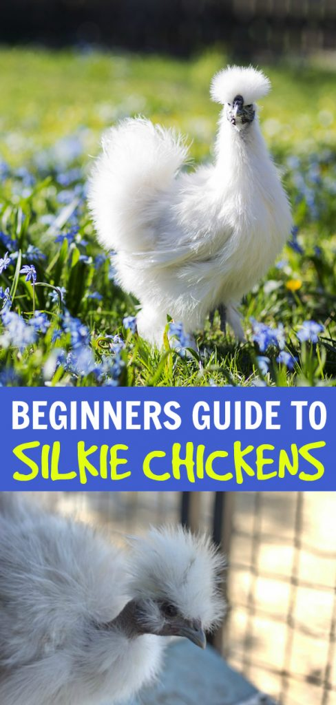 Beginners guide to silkie chickens. #homesteading #silkies #Silkiechickens #Chickencare