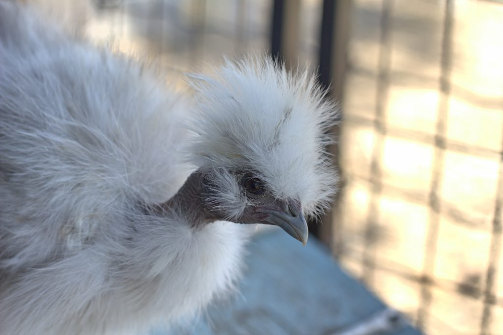 Naked Neck Silkie Chicken