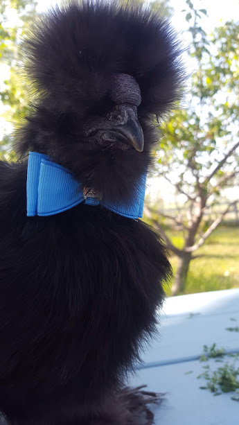 silkie with bowtie
